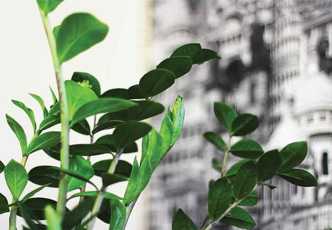 Research suggests succulents such as Zamioculcas zamiifolia could be effectively used in indoor green walls